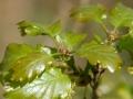 Quercus petraea fleur 2010