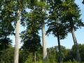 TroncaisParcelle152 groupechenes.jpg