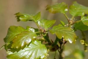 Quercus_petraea_fleur